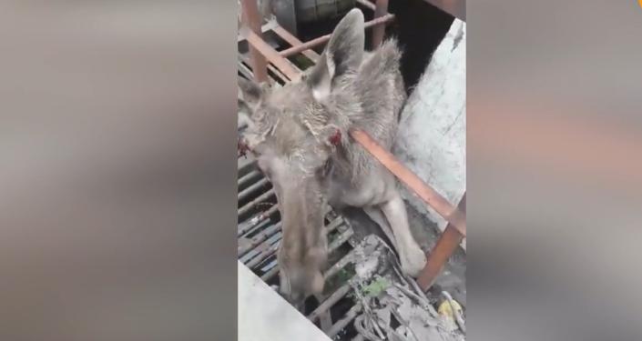 Zvědavý los obdivuhodným způsobem uvízl v mříži, ale byl zachráněn a puštěn do lesa (VIDEO)