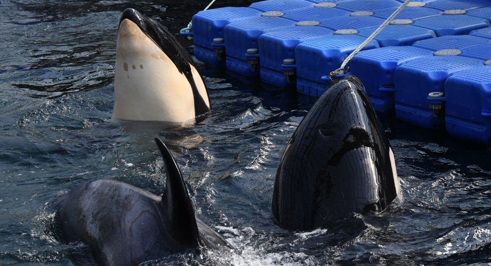 Kosatky a běluhy v zálivu Sredňaja