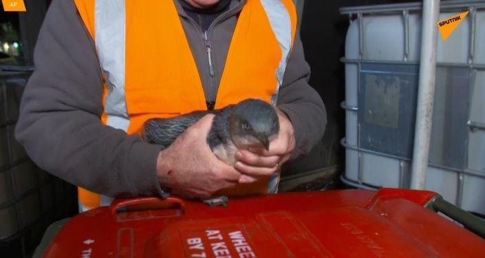 Novozélandská policie zadržela tučňáky, kteří vnikli do sushi baru