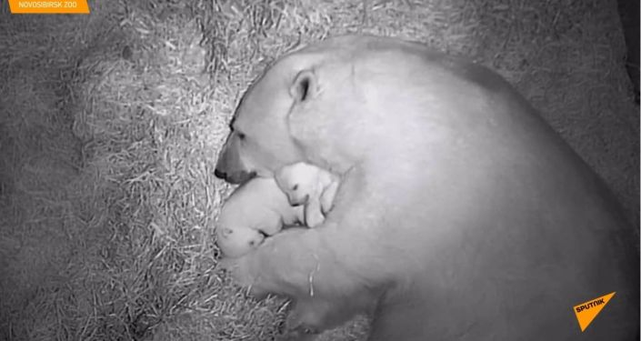 Koukněte se na zatím bezpečná roztomilá mláďata ledního medvěda v sibiřské