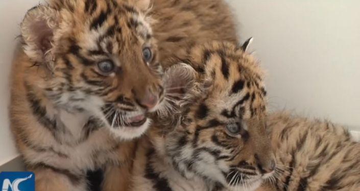 Koukněte se, jak zaměstnanci zoo v  Číně pečují o roztomilá mláďata tygrů