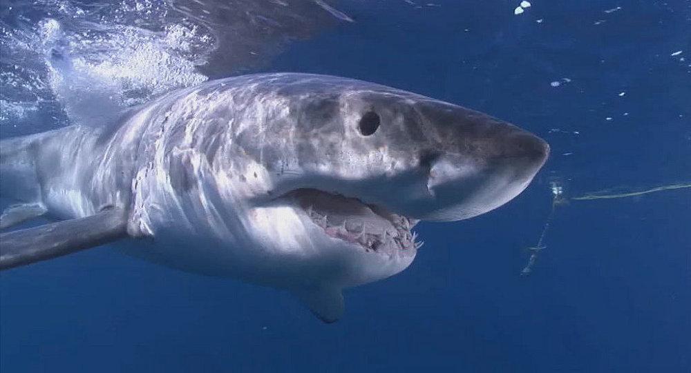 Malebné a dramatické: režisérka natočila z dronu velkého bílého žraloka plujícího za vůní krve k mrtvému vorvaňovi