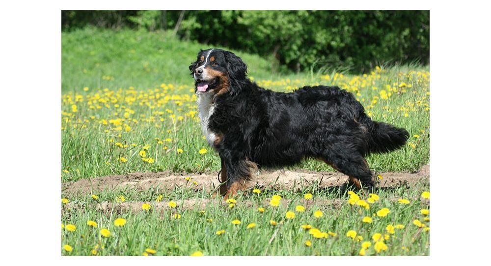 Podívejte se, jak pečlivě se tento obrovský Bernský salašnický pes stará o roztomilé štěně