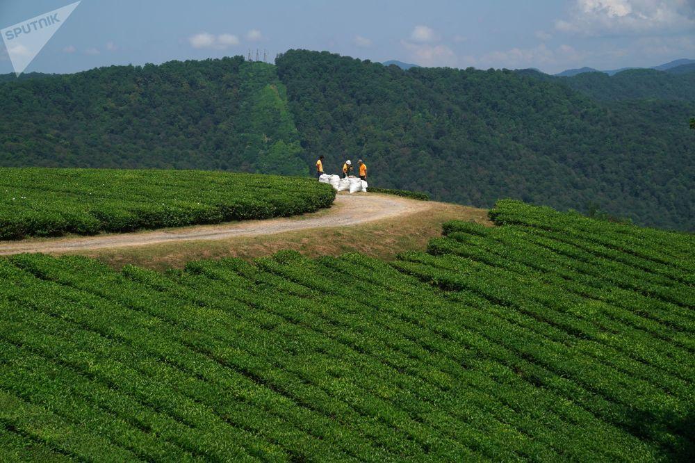 Sklizeň čaje v oblasti Macesta v Soči.