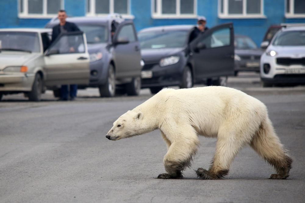 Lední medvěd prochází ruským Norilskem.