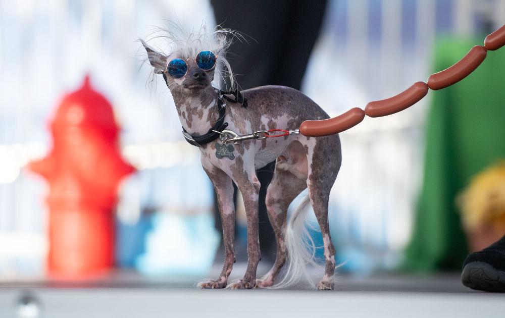 Pes během soutěže Nejošklivější pes roku v USA.