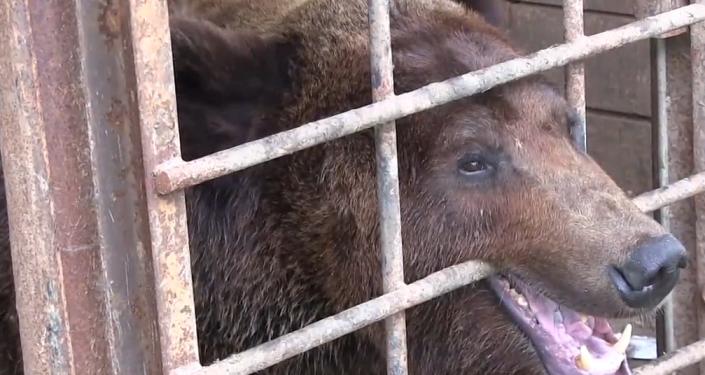 Video: Chudák medvěd se ocitl v beznadějných podmínkách. Pomáhají mu dobrovolníci