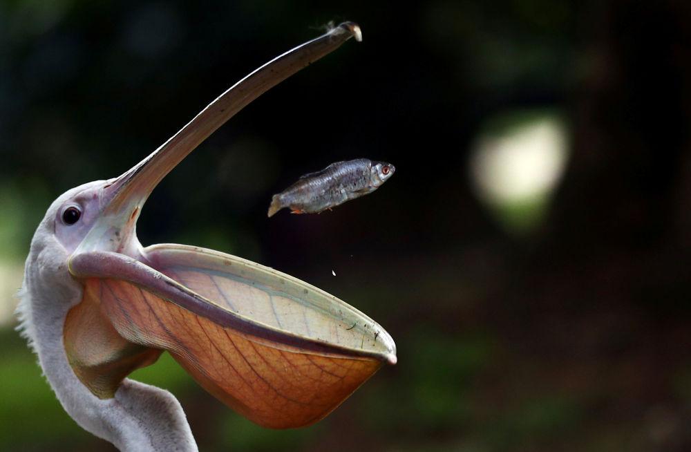 Pelikán loví rybu v parku svatého Jakuba v Londýně.