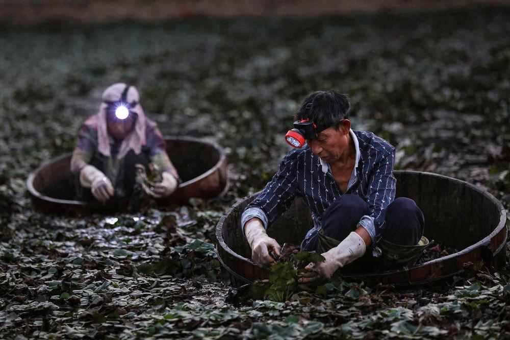 Zemědělci sbírají čínské vodní ořechy poblíž města Siao-kan, provincie Chu-pej, Čína.