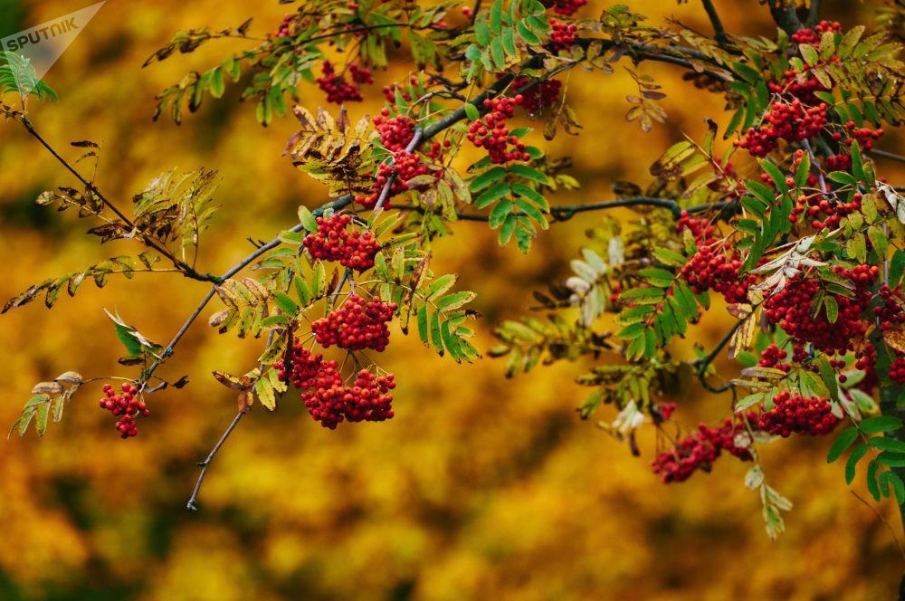 Podzimní jeřabiny v petrohradském parku
