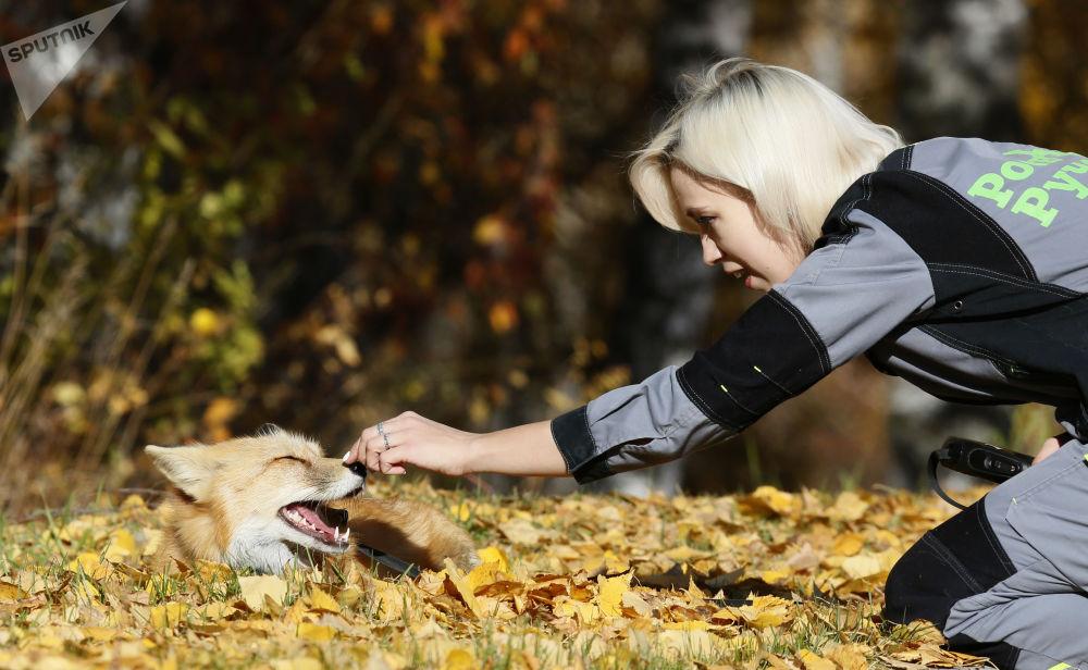 Liška Ralph při chůzi v sibiřské tajze poblíž Krasnojarsku