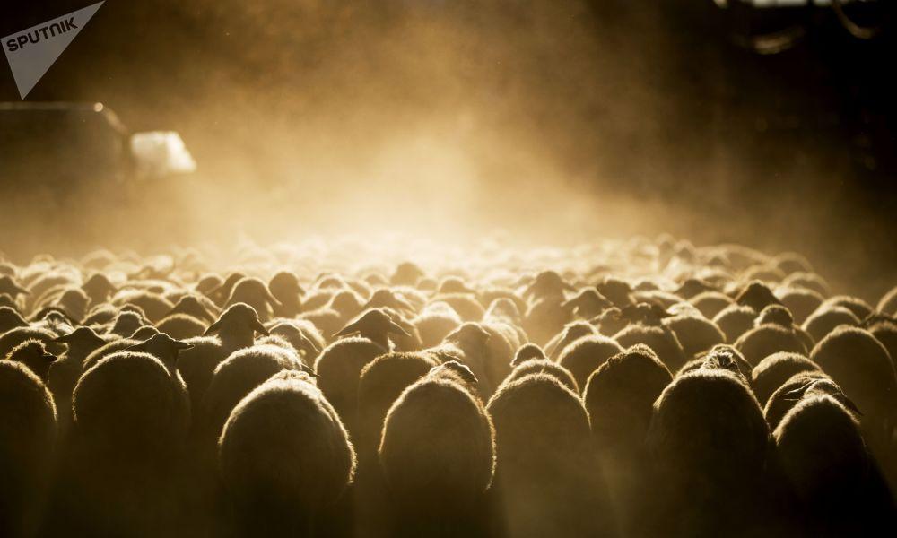 Stádo ovcí v Arménii.