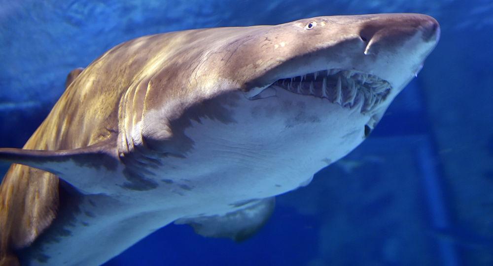 Žralok v akváriu Le Croisic ve Francii