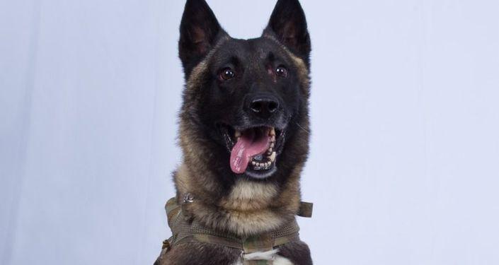 Americký pes Conan