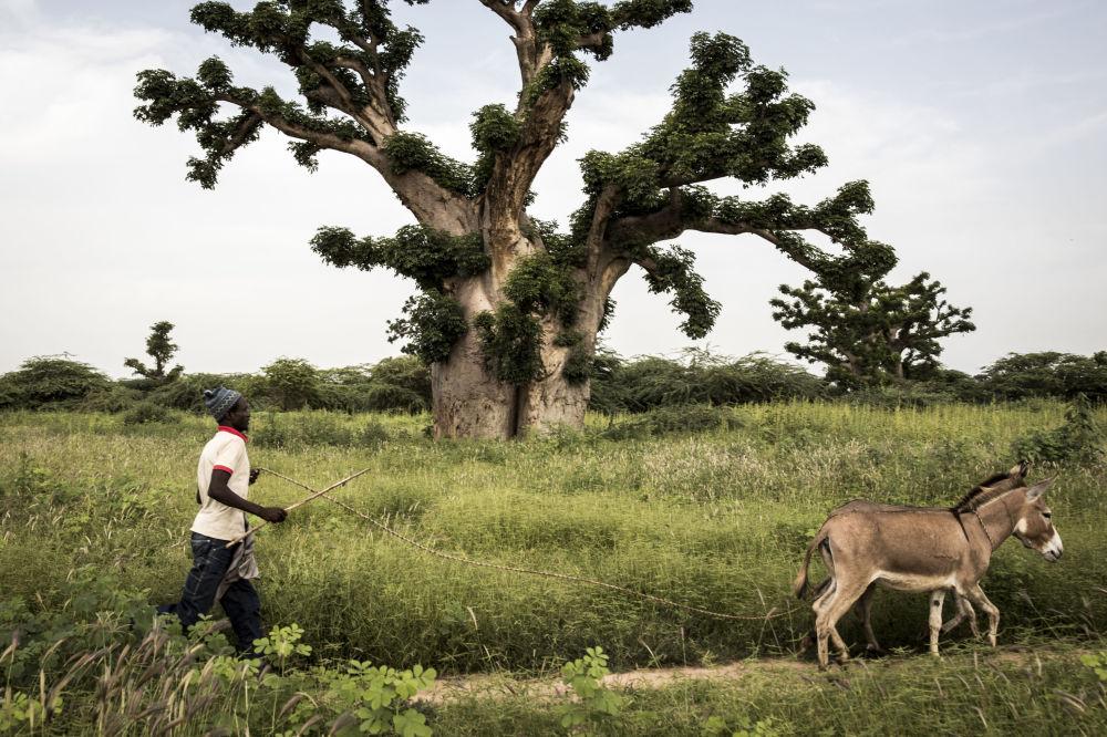 Muž s osly v Senegalu