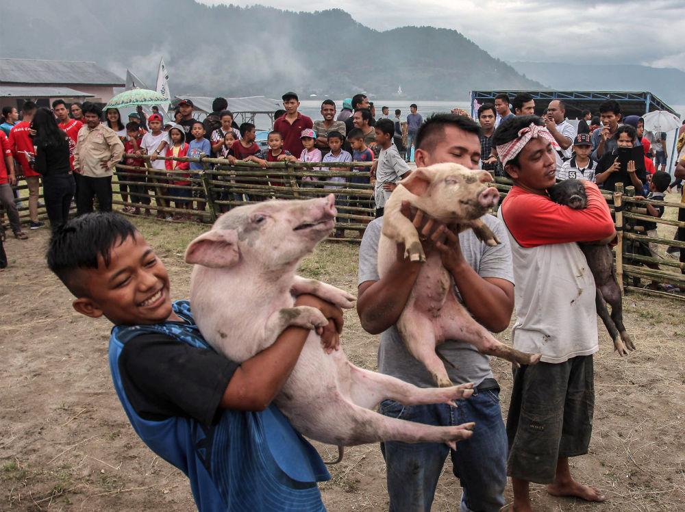 Soutěž chytání prasat u jezera Toba u Sumatry (25. 10. 2019)