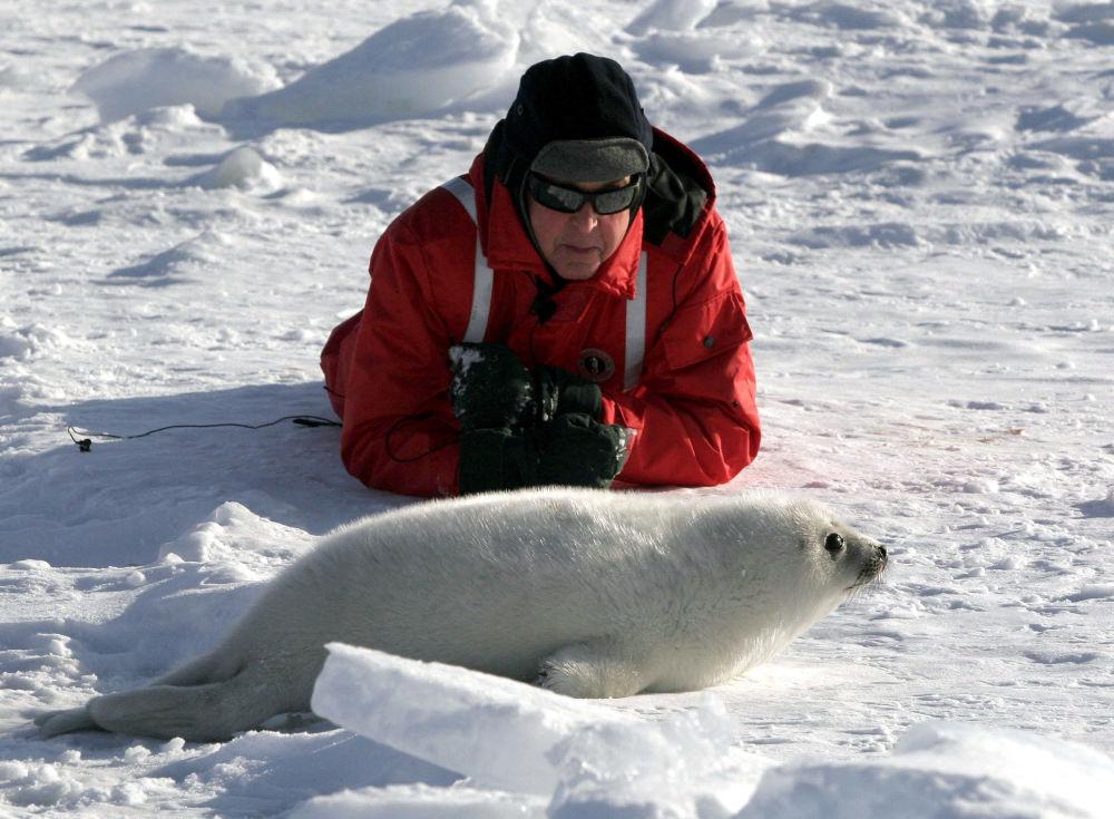 Hudebník Paul McCartney se dívá na mládě tuleně grónského (Záliv svatého Vavřince, Kanada)
