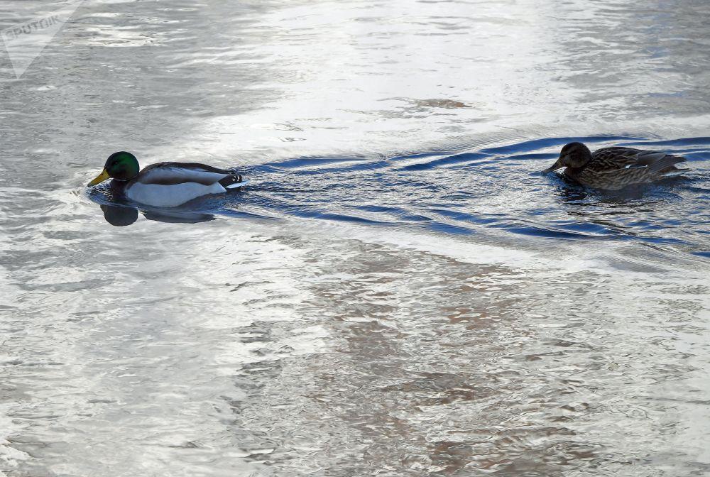Divoké kachny plavou po řece Jenisej