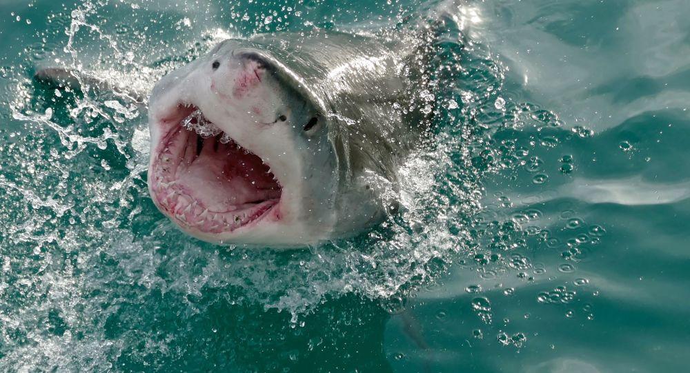 Velký bílý žralok