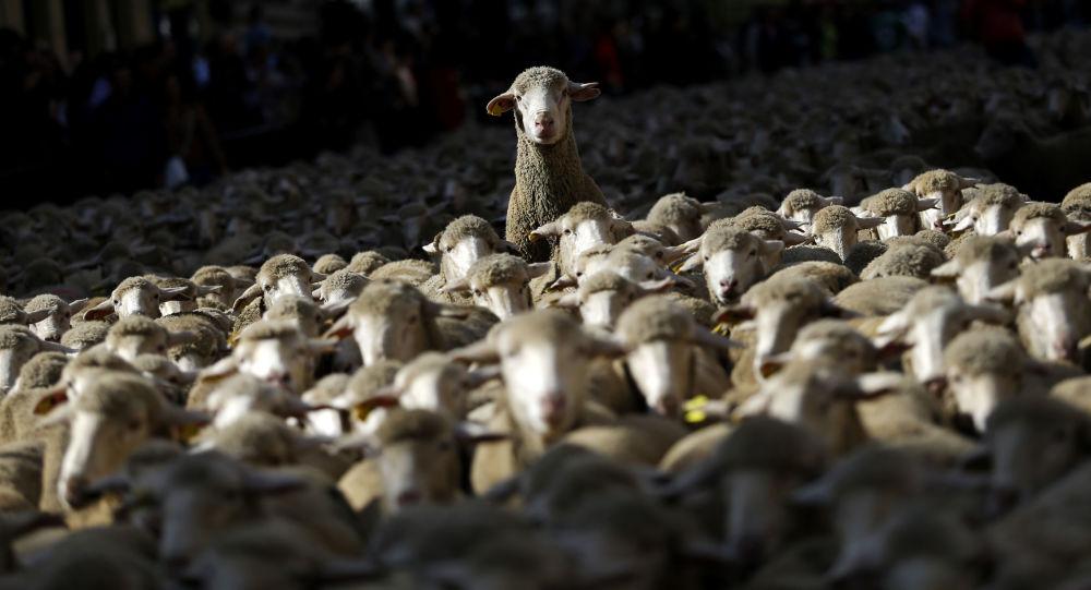 Stádo ovcí. Ilustrační foto