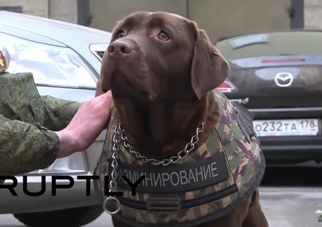 Labrador Džoli předvedl neprůstřelnou vestu pro psy
