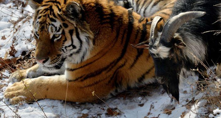 Kozel Timur a tygr Amur v Přímořském safari-parku