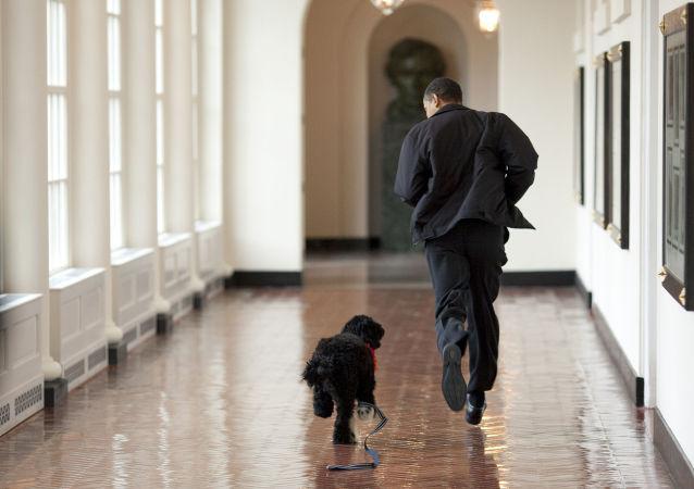 V rodině Baracka Obamy žije Bo – portugalský vodní pes