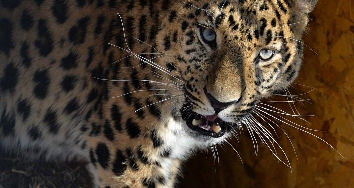 """Leopard z Prahy se stal """"sousedem"""" Amura a Timura v Přímoří"""