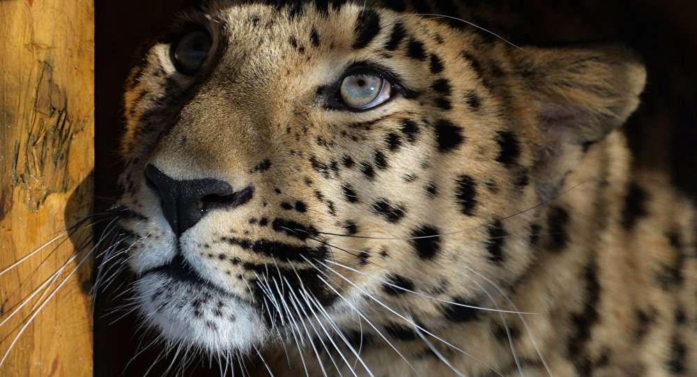 Leopard z Prahy