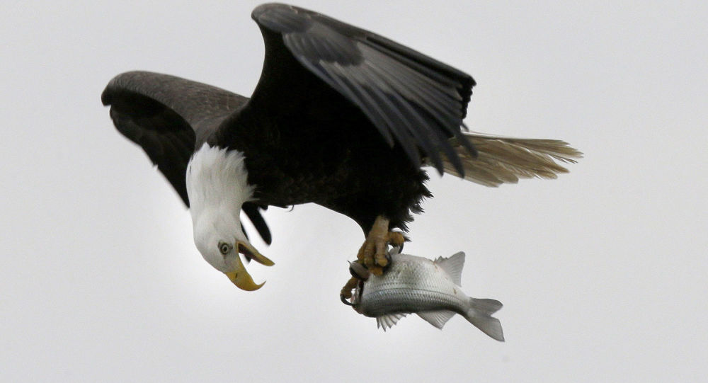 Bělohlavý orel letí s rybou v drápech