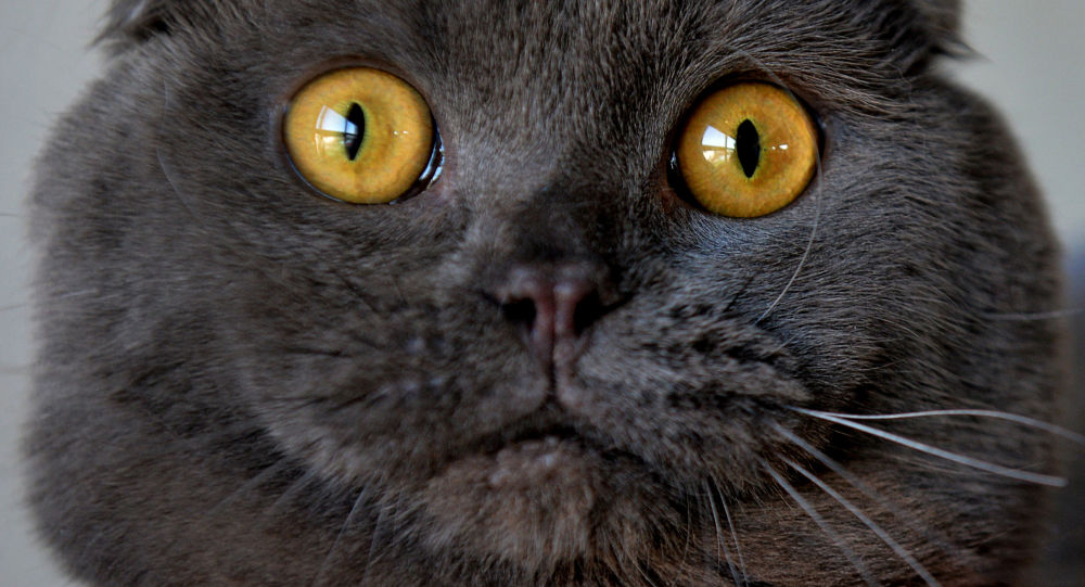 Skotská klapouchá kočka na výstavě v Biškeku