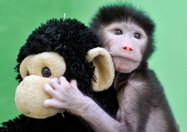 Opičí mládě s hračkou v zoo Maisura na jihu Indie