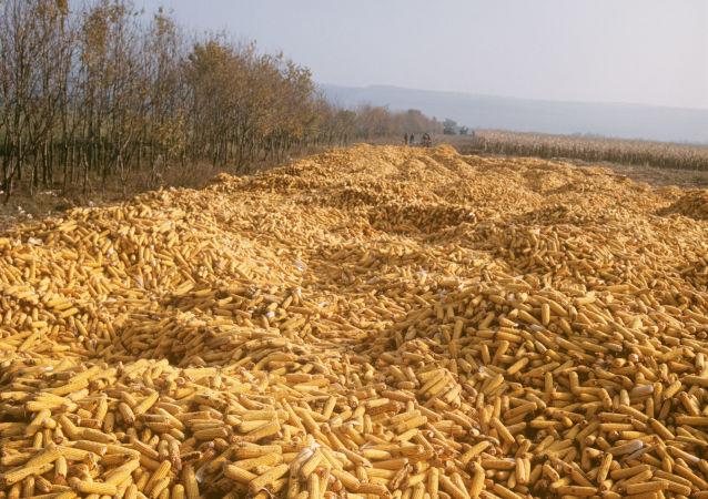 Úroda kukuřice na Ukrajině