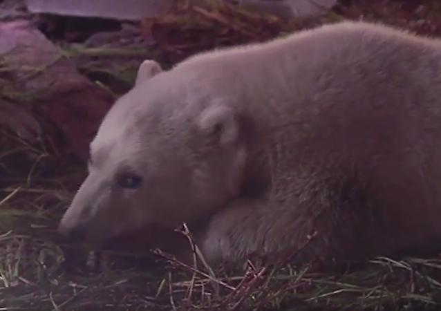 Záchrana medvídka na Šmidtově ostrově. VIDEO