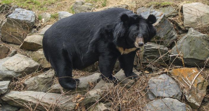 Himalájská medvědice