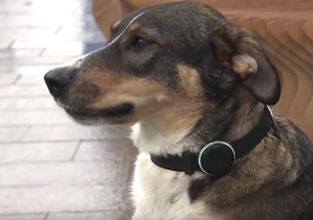 GLONASS-obojky pro psy začali sériově vyrábět