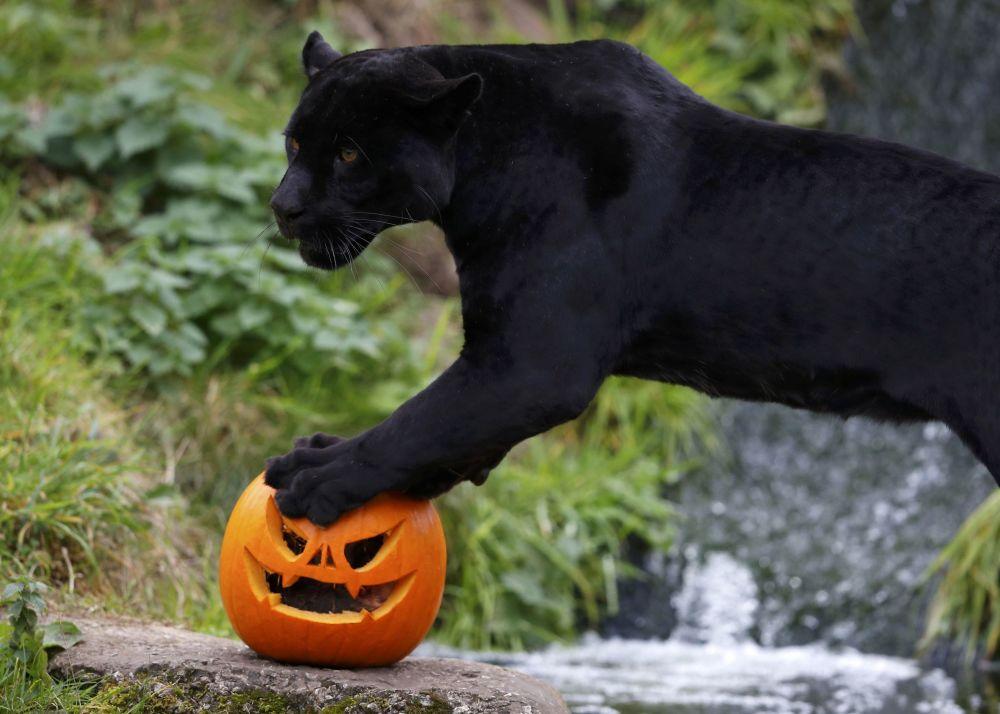Černý jaguár Goši s halloweenskou tykví v zoo v Chesteru, Velká Británie