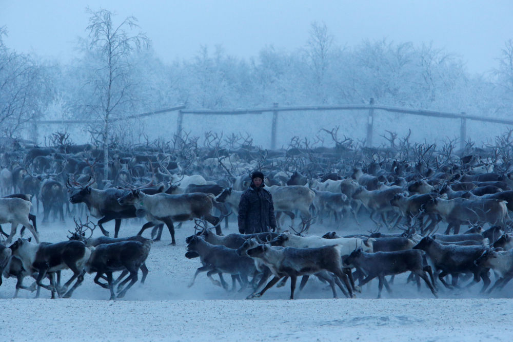 Chov sobů v ruské Arktidě