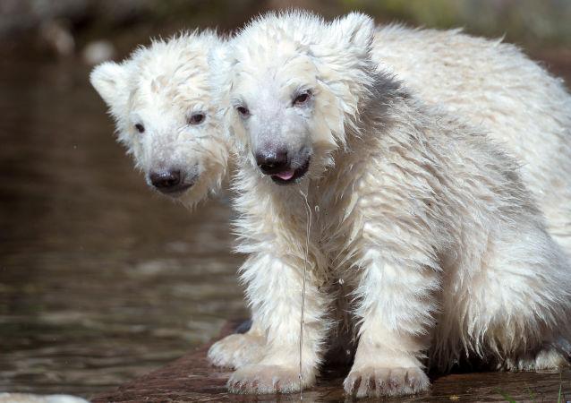 Medvíďata v berlínské zoo
