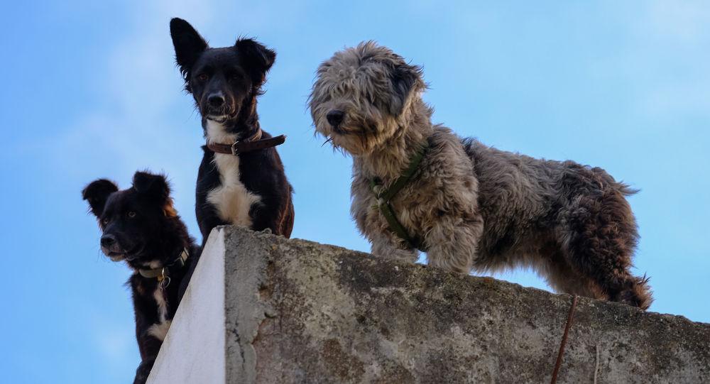 Psi z ostrova Faial