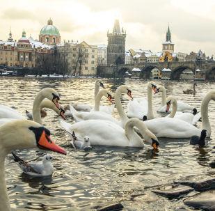Labutě ve Vltavě, Praha