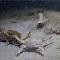 Pronásledování kraba chobotnicí mělo nečekaný konec