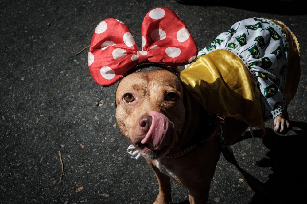 Pes oblečený do kostýmu na každoročním Psím karnevalu v Riu de Janeiru