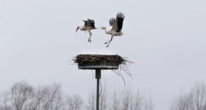 Čáp vyhání soupeře ze svého hnízda na jih od Frankfurtu, Německo