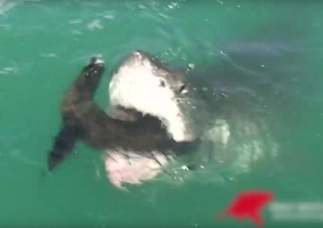 V JAR ulovil žralok tuleně přímo před zraky turistů