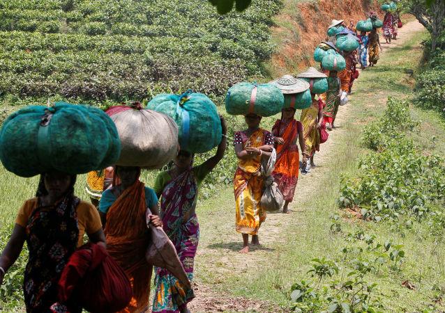 Dělníci nesou pytle s čajovým listím, Indie