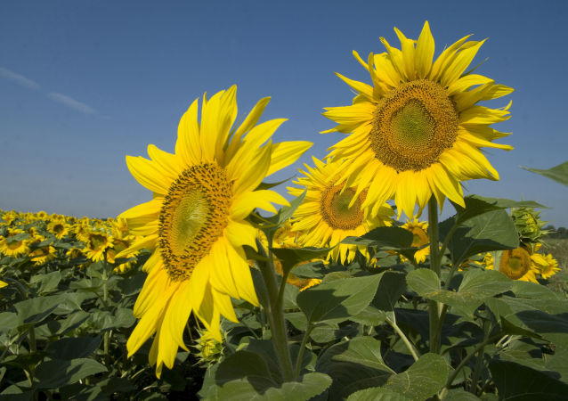 Slunečnice (ilustrační foto)