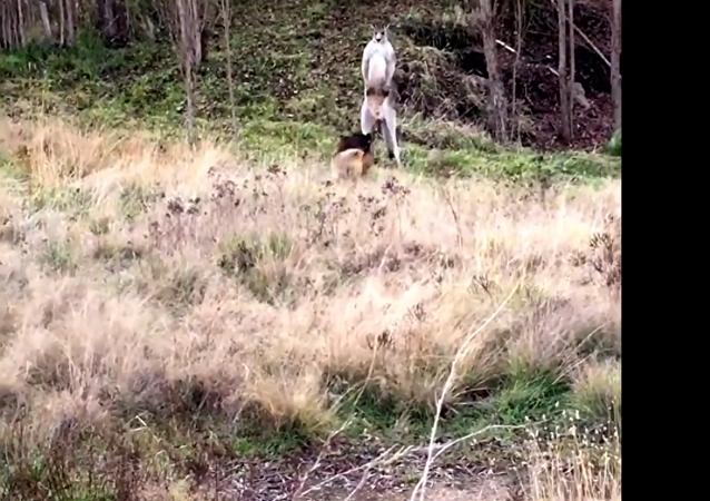 V Austrálii policista rozehnal peroucího se klokana se psem