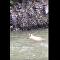 Medvěd se stěží dostal z divoké řeky