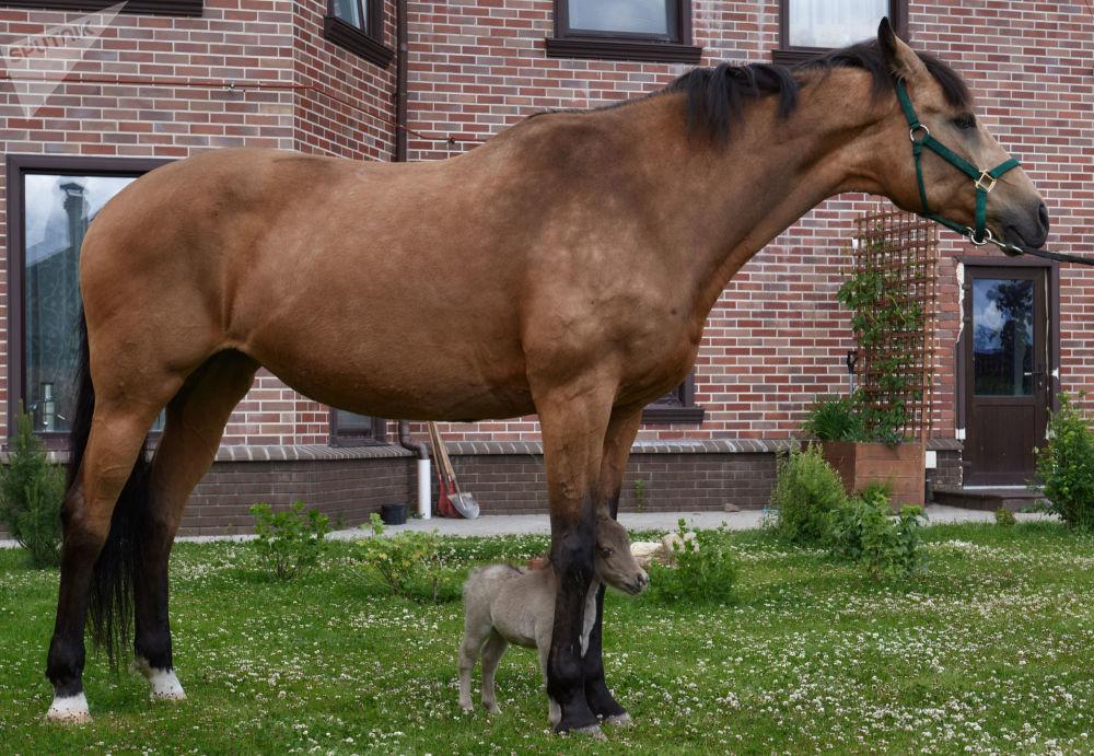Hříbátko Gulliver na farmě Idalgo na chov amerických miniaturních koní ve vesnici Skotnoje, Leningradská oblast